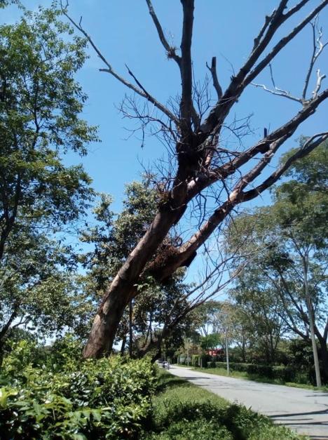 Este es uno de los árboles que generan riesgo a los transeúntes de la vía a Mata de Pantano-.